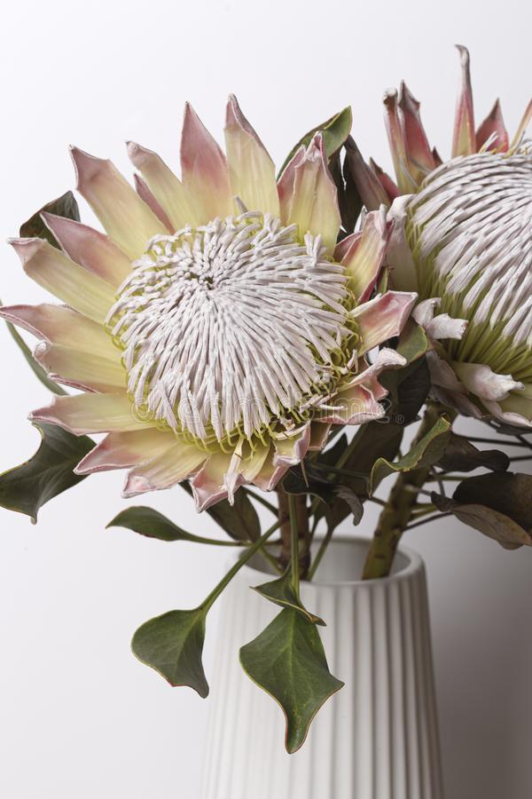 King protea flower in bloom bouquet royalty free stock image