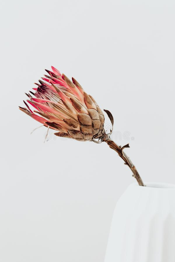 Free King Protea Flower. Dried Pink Protea Plant In Vase. Lifestyle Image. Royalty Free Stock Image - 143330926