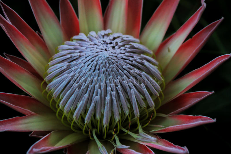 King Protea with its impressive display of colours stock image