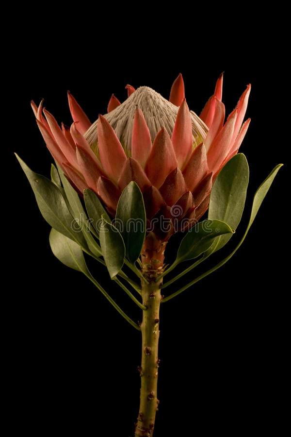 Download King Protea Side View Isolated Black Background Stock Photo - Image: 10765380