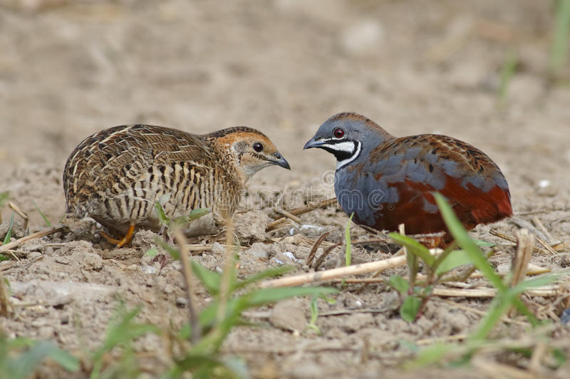 King quail Blue-breasted quail Coturnix chinensis Male and Female Cute Birds of Thailand stock image