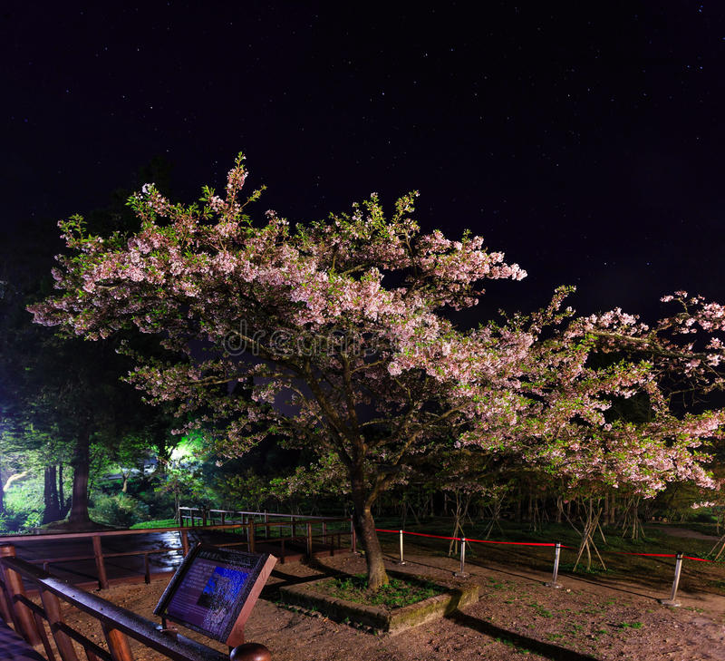 King of the Sakura (Cherry tree) at Ali mountain, Taiwan. King of the Sakura (Cherry tree) in a starry night at Ali mountain, Taiwan royalty free stock images