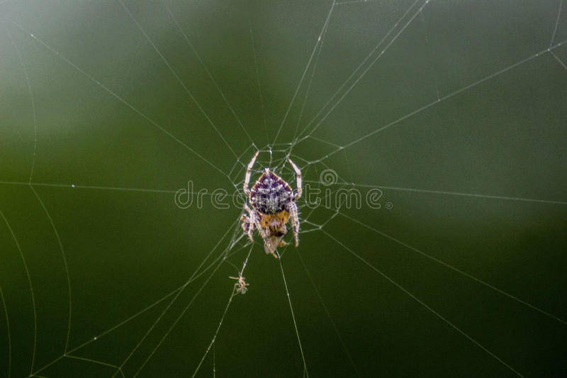 King Spider stock photo