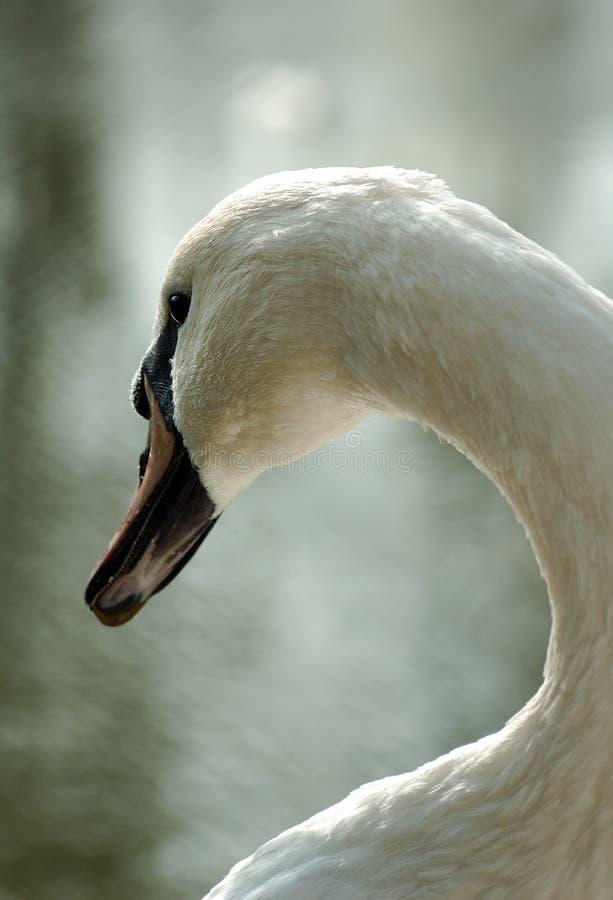The king swan. A wonderful swan stock photo