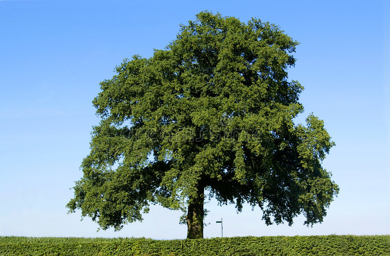 Download King of trees stock image. Image of alone, cloudless, relaxing - 2550391