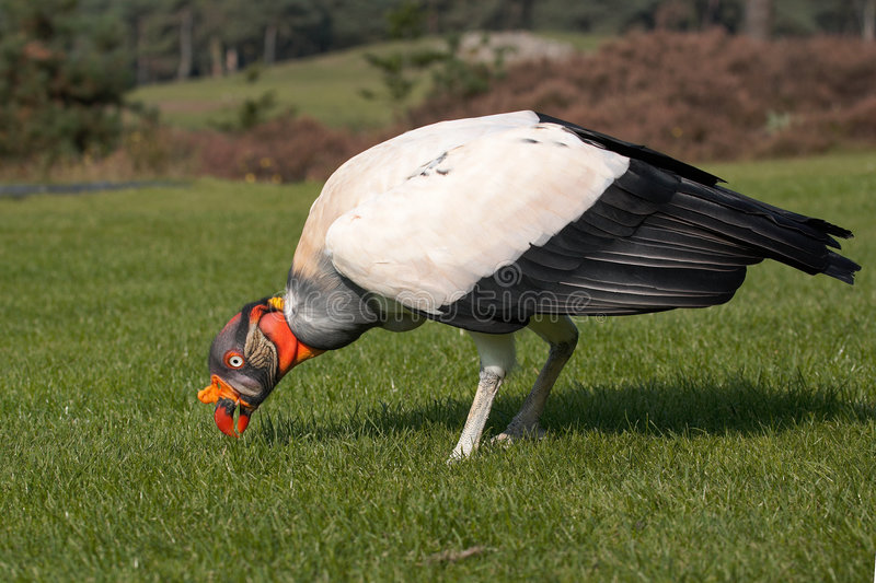 King Vulture Royalty Free Stock Photos