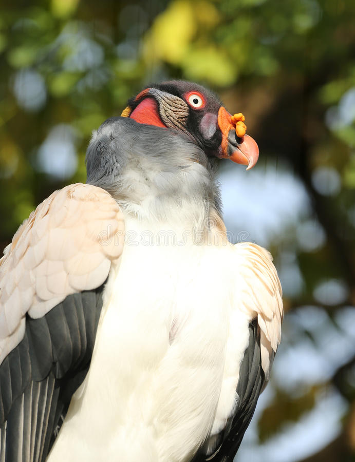 Free King Vulture Royalty Free Stock Photos - 61814888