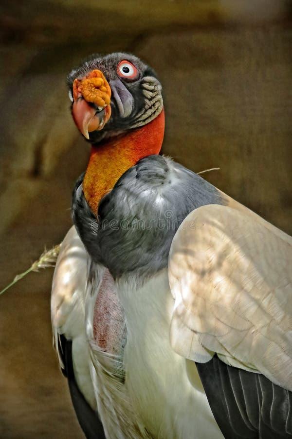 King Vulture. Colorful Scavenger Bird Close Up Portrait stock image