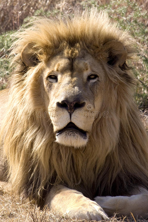 Download King of the wild II stock photo. Image of hunt, dangerous - 9805890