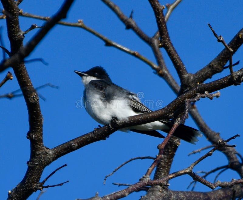 Kingbird del este imagenes de archivo