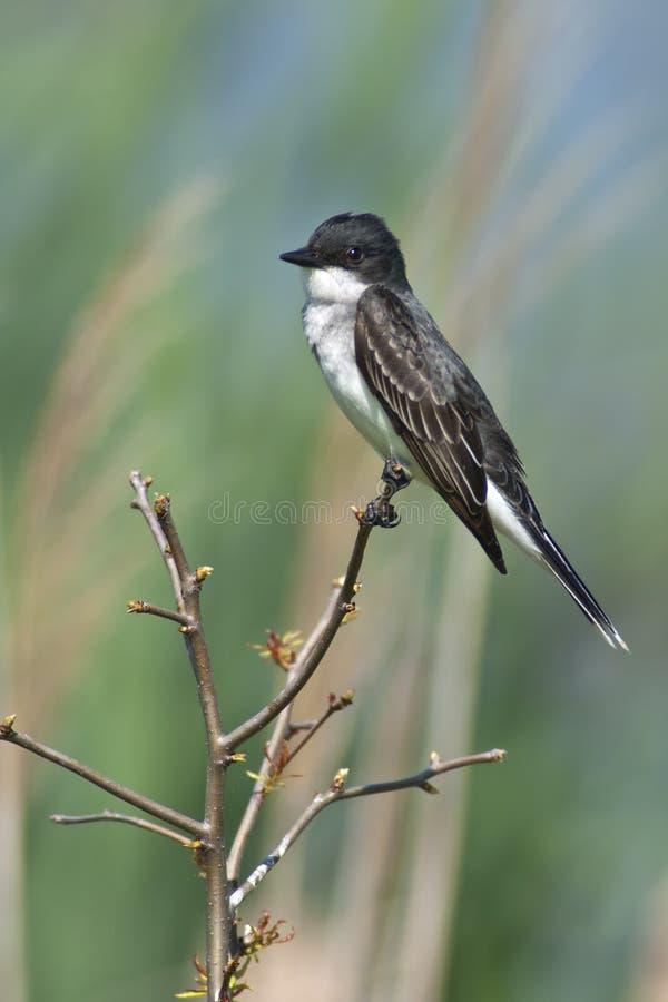 Kingbird del este imagen de archivo libre de regalías