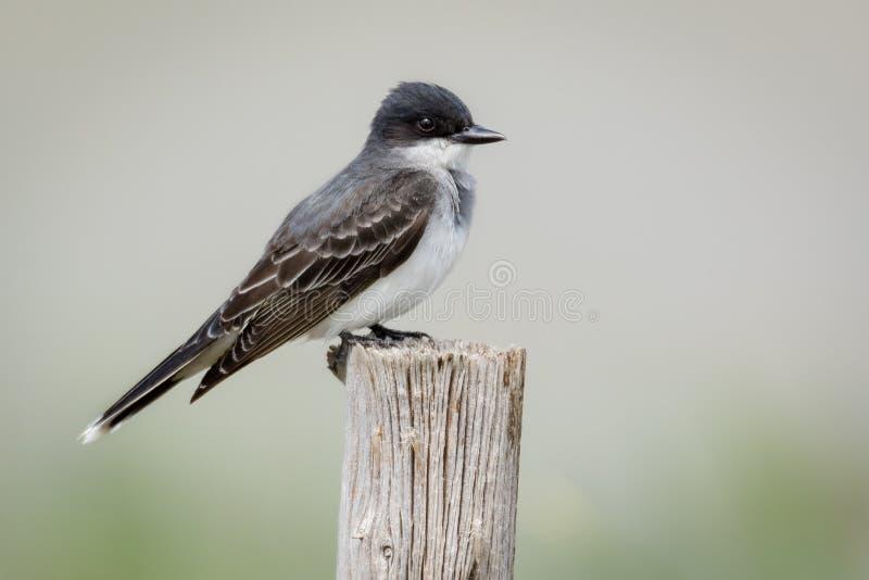 Kingbird del este encaramado en el polo de madera fotos de archivo libres de regalías