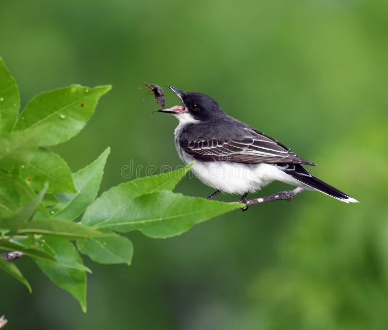 Kingbird del este que captura su desayuno fotos de archivo libres de regalías