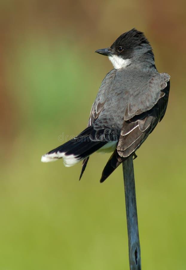 Kingbird del este (tyrannus del tyrannus) fotografía de archivo