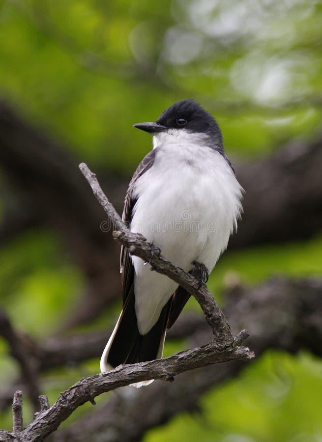 Kingbird del este (tyrannus del tyrannus) imagen de archivo