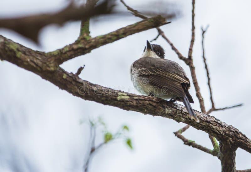 Kingbird gigante de Cuba que descansa sobre un árbol imágenes de archivo libres de regalías