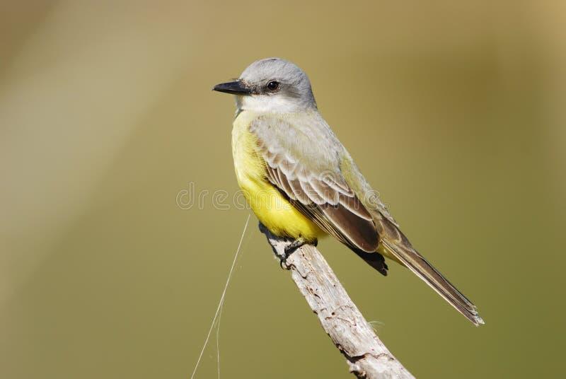 kingbird melancholicus tyrannus zdjęcia royalty free
