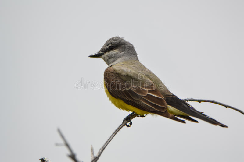 Kingbird occidentale immagini stock