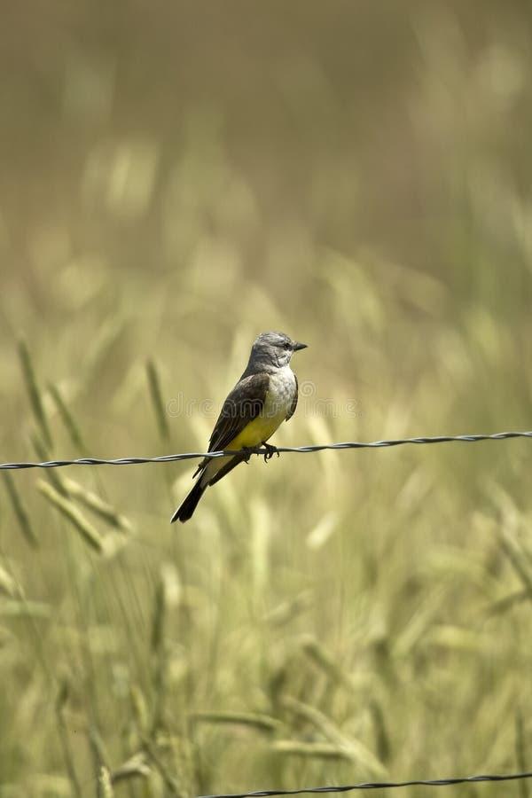 Kingbird occidentale fotografia stock libera da diritti
