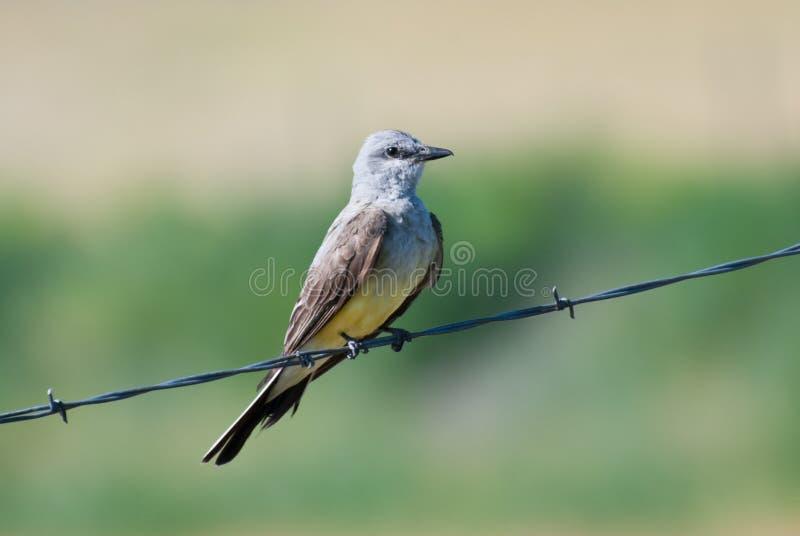 Kingbird occidentale appollaiato su filo immagine stock libera da diritti