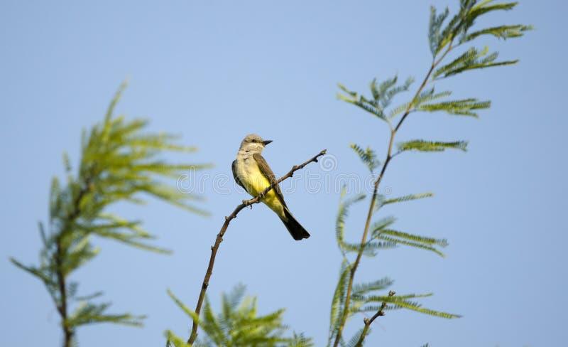 Kingbird occidentale, deserto di Tucson Arizona fotografia stock libera da diritti