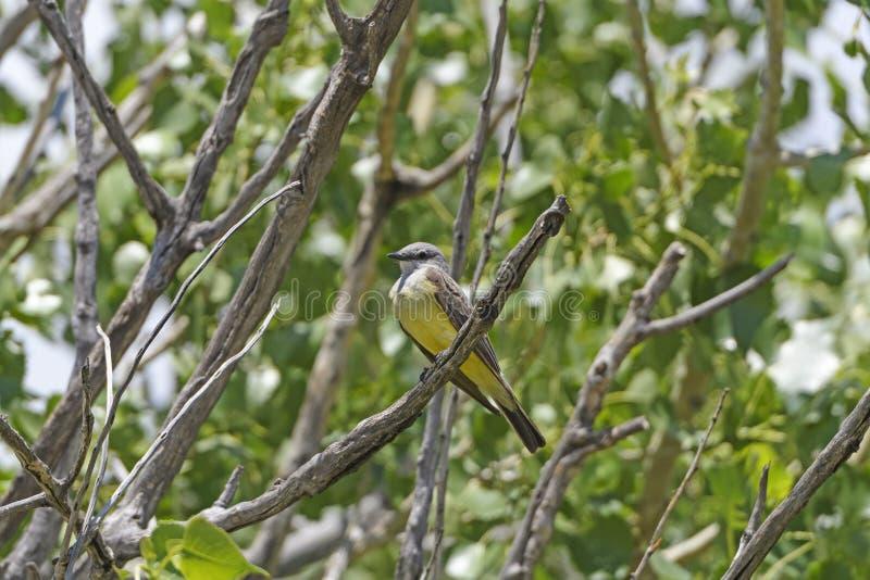 Kingbird occidentale nei calanchi immagini stock libere da diritti