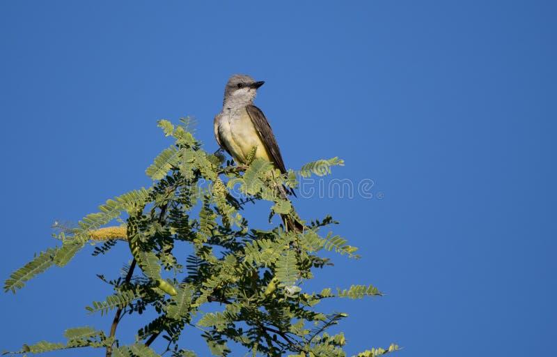 Kingbird occidentale nell'albero di Palo Verde, Tucson Arizona immagini stock