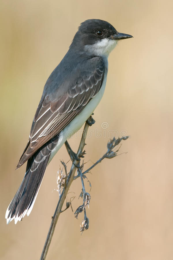 Kingbird oriental photographie stock
