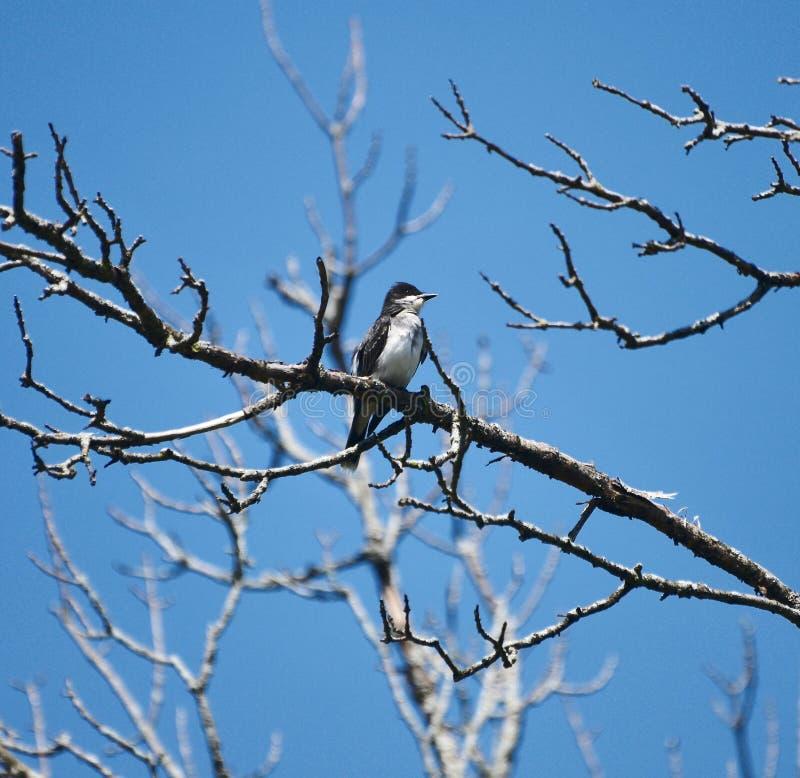 Kingbird oriental chez Morton Arboretum images stock