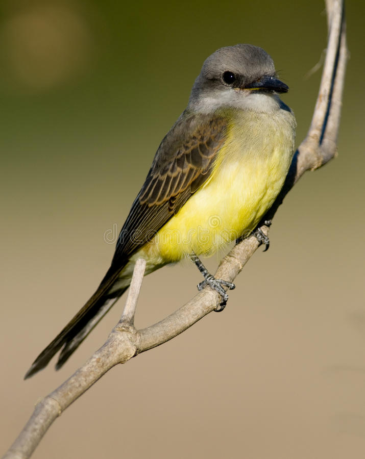 Kingbird tropical imagem de stock royalty free