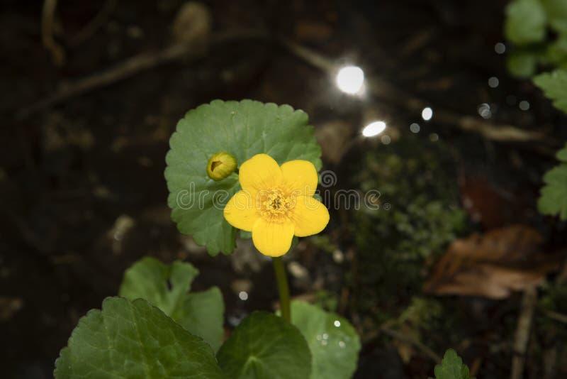 Kingcup花,驴蹄草猿猴草属palustris在水中 在黑暗的背景的黄色野花 免版税库存图片
