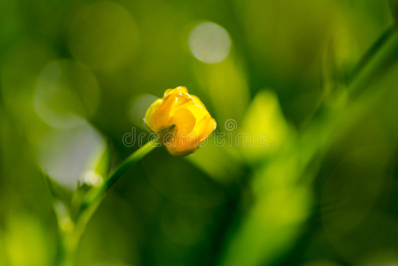Kingcup, bagno nagietka Caltha palustris ekstremum makro- obrazy royalty free