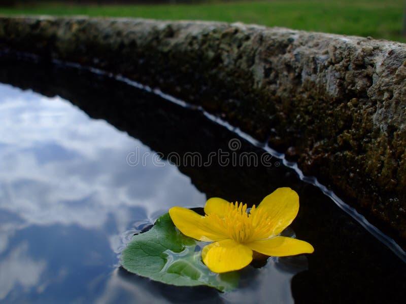 Kingcup in einem Brunnen lizenzfreie stockfotos
