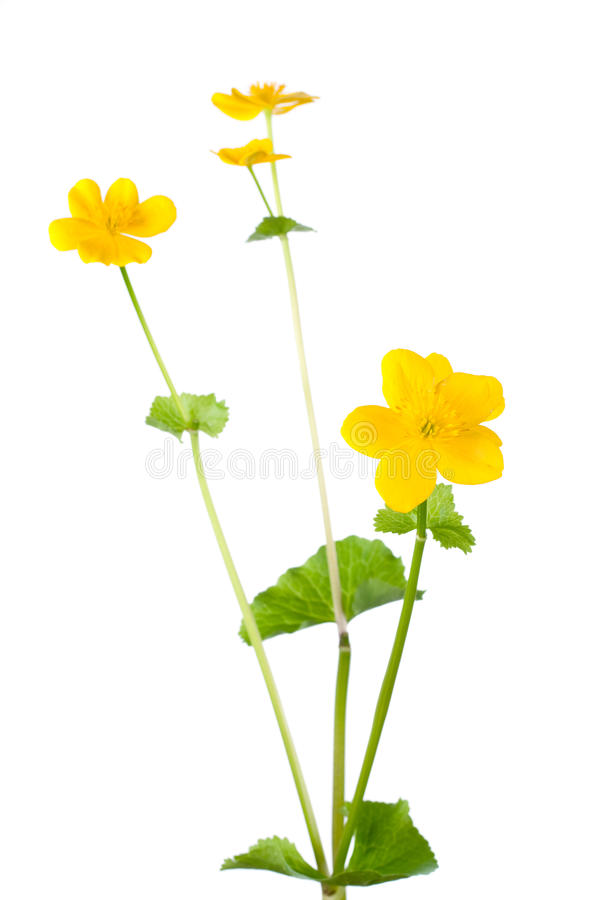 Kingcup flower isolated on white stock images