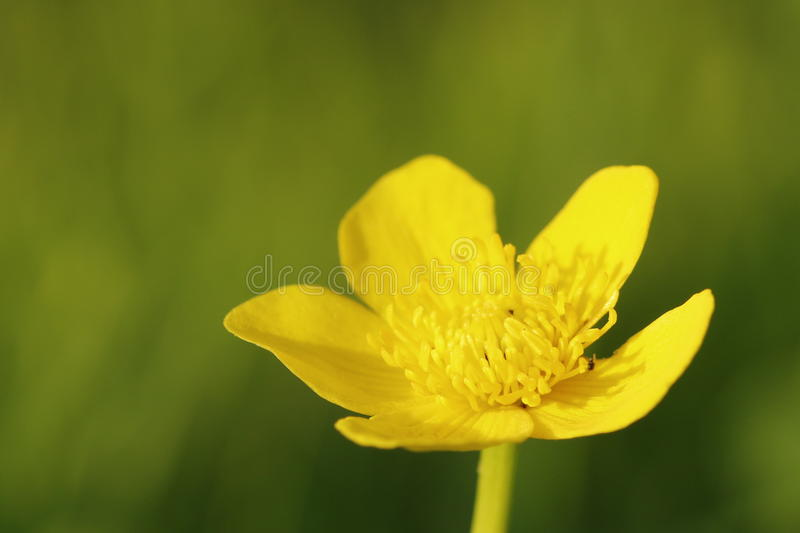 Kingcup flower stock photography