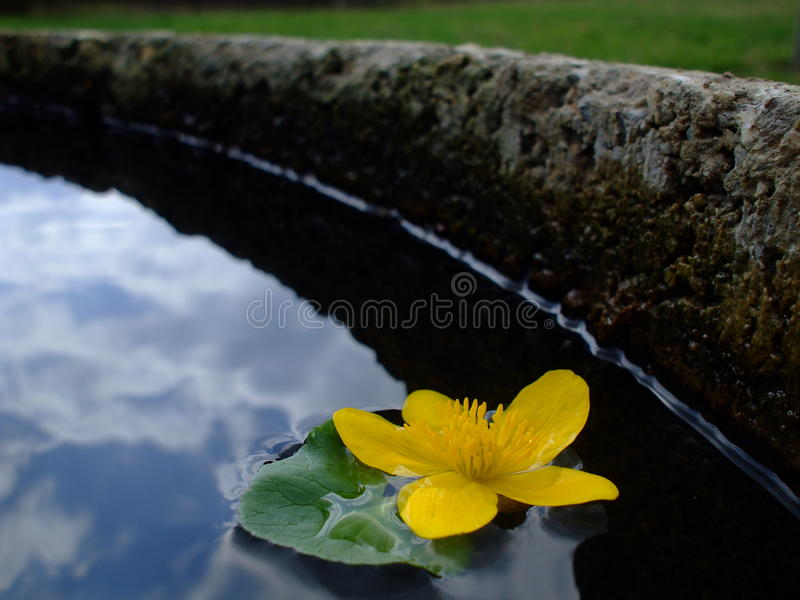 Kingcup in a well royalty free stock photos