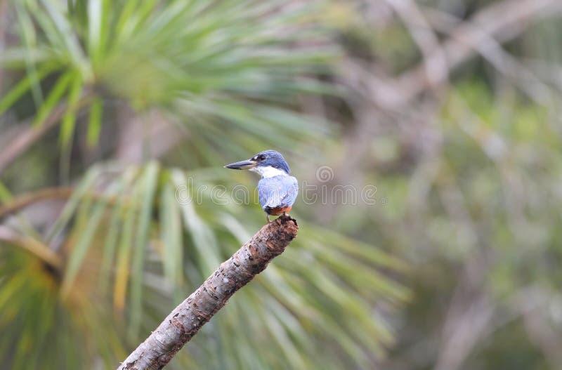 Kingfisher Амазонки стоковое фото