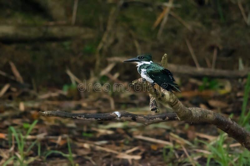 Kingfisher Амазонки стоковая фотография rf