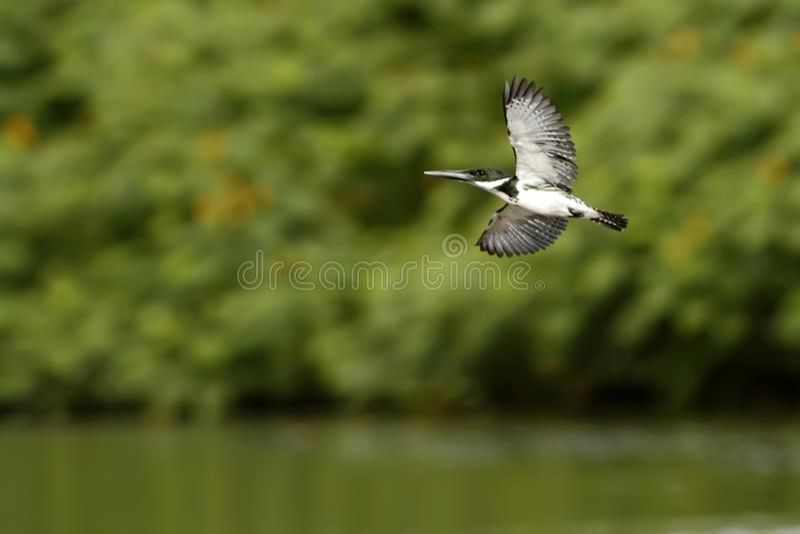 Kingfisher Амазонки - amazona Chloroceryle в полете в свою естественную окружающую среду реки, зеленых листьях в предпосылке, пти стоковая фотография rf