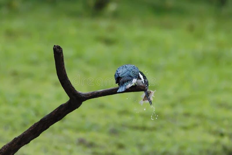 Kingfisher Амазонки - amazona Chloroceryle сидя на ветви с рыбами в своем клюве, зеленой ясной предпосылкой, Коста-Рика, красивой стоковое фото