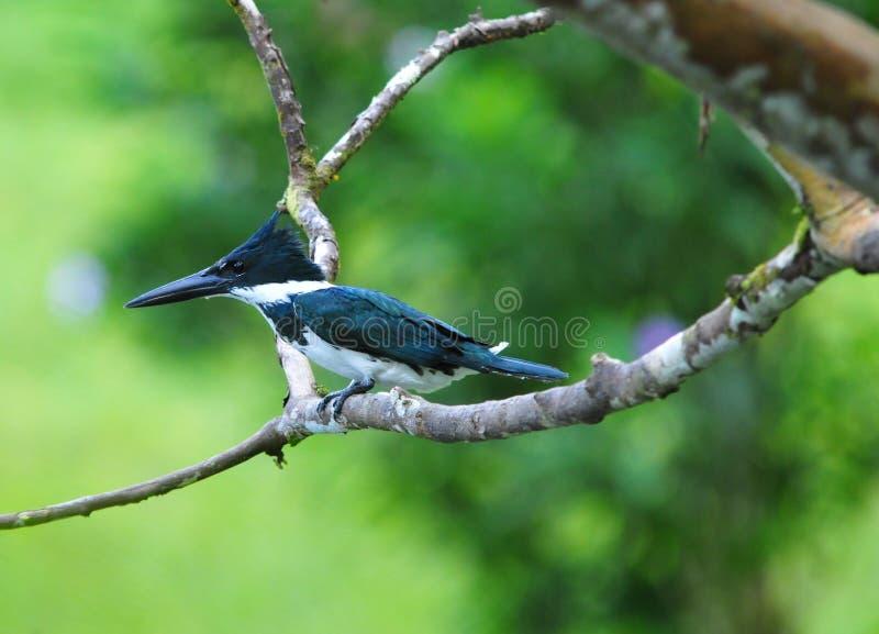 Kingfisher Амазонкы стоковое изображение