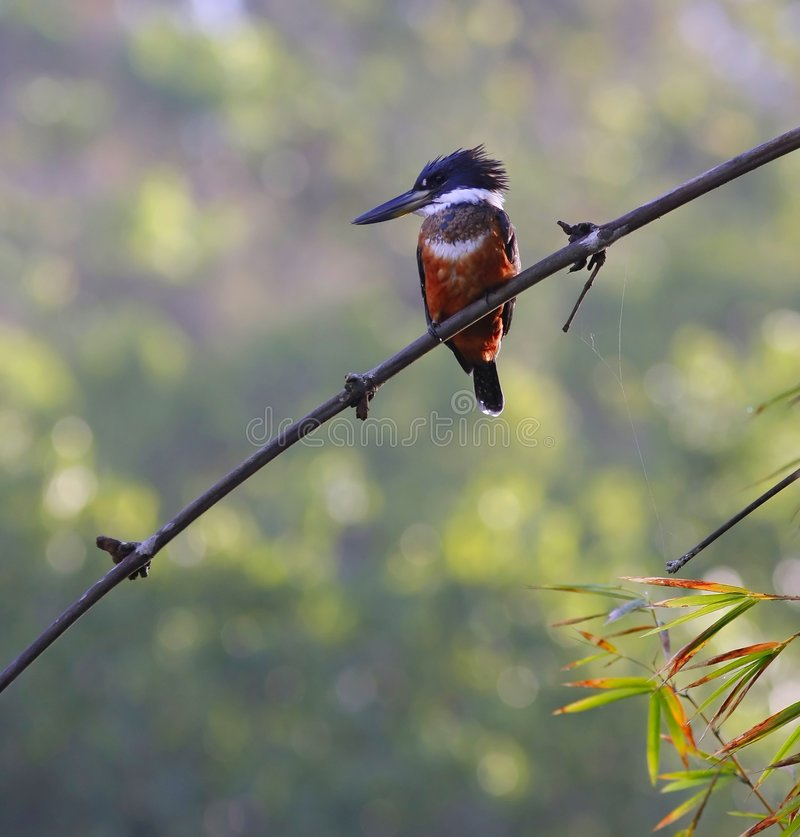 kingfisher Амазонкы стоковые фотографии rf