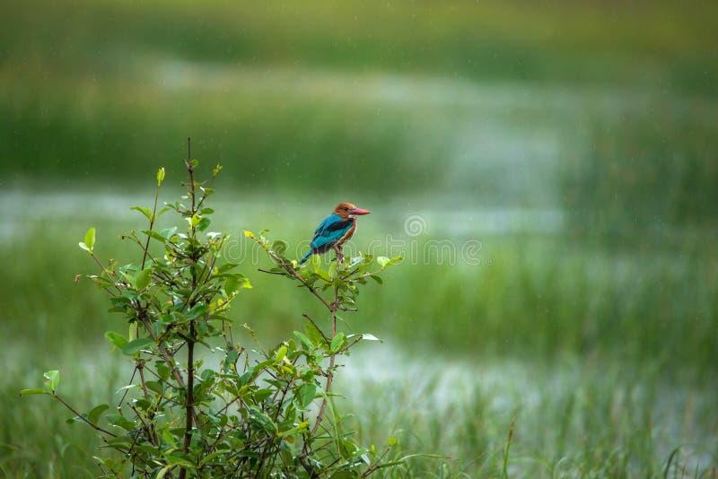 Kingfisher в дожде стоковые фотографии rf