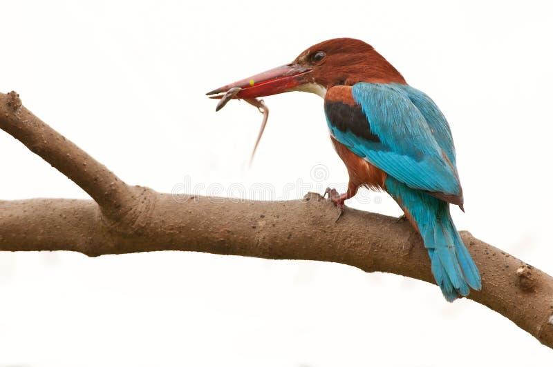 kingfisher задвижки стоковые изображения