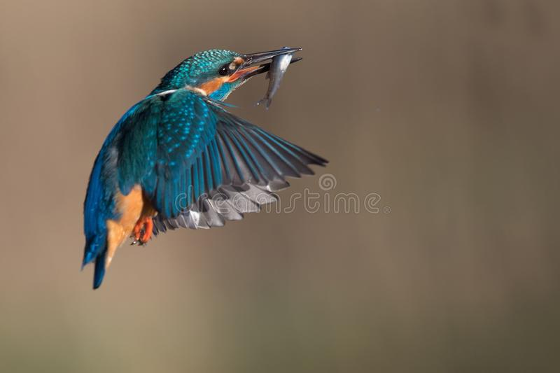 Kingfisher летает мимо с рыбами стоковое изображение