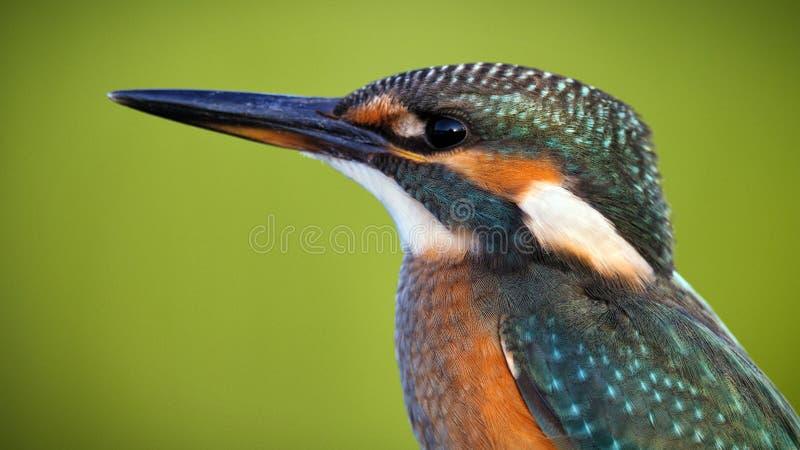 kingfisher Портрет конец вверх стоковая фотография rf