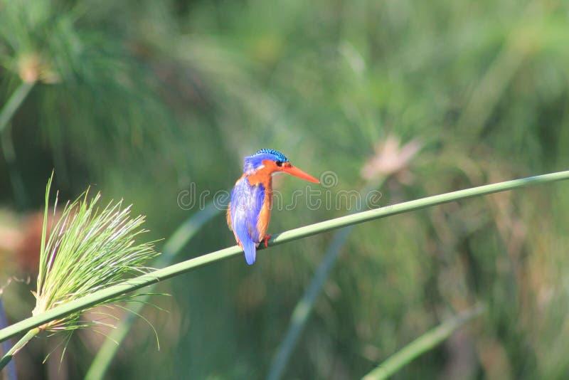 kingfisher fotografia stock