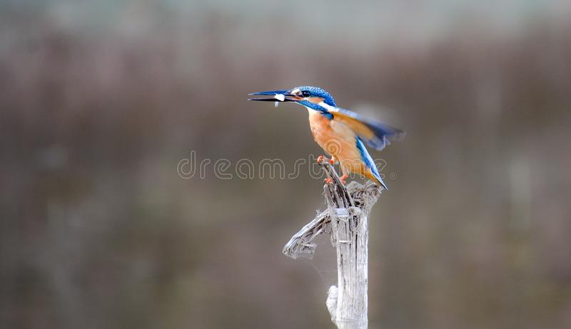 kingfisher stockfotografie