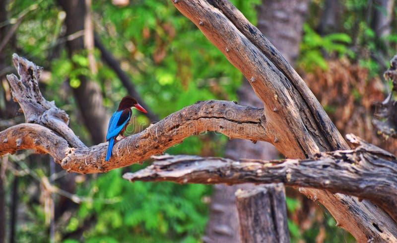 kingfisher fotografie stock