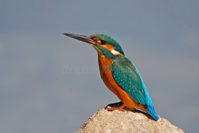 Kingfisher. I have shot this photo in rural area of Turkey. Which lives it's carecteristic mood royalty free stock photo